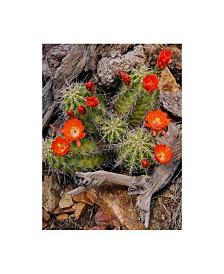 """Michael Blanchette Photography 'Claret Cup Cactus' Canvas Art - 35"""" x 47"""""""
