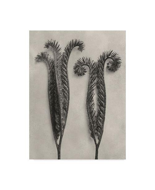 "Trademark Global Karl Blossfeldt Ua Ch Blossfeldt Botanical II Canvas Art - 20"" x 25"""
