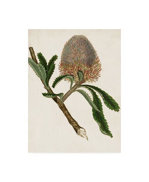 "Trademark Global Unknown Antique Protea I Canvas Art - 20"" x 25"""