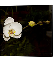 Warm White Orchid by Harold Silverman Canvas Art