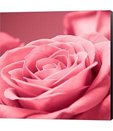Pink Rose 1 by PhotoINC Studio Canvas Art