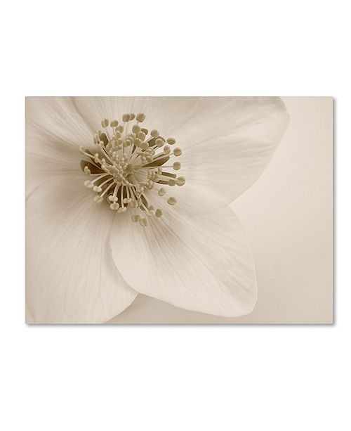 "Trademark Global Cora Niele 'Hellebore Christmas Rose' Canvas Art - 32"" x 24"" x 2"""