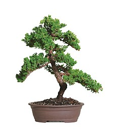 Brussels Bonsai Green Mound Juniper