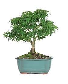 Brussels Bonsai Japanese Maple - Khoto Hime