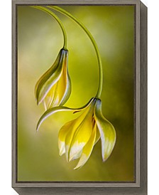 Tulipa by Mandy Disher Canvas Framed Art