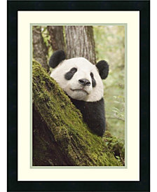 Amanti Art Xiang Xiang, First Captive Raised Panda To Be Released Into The Wild, China Framed Art Print