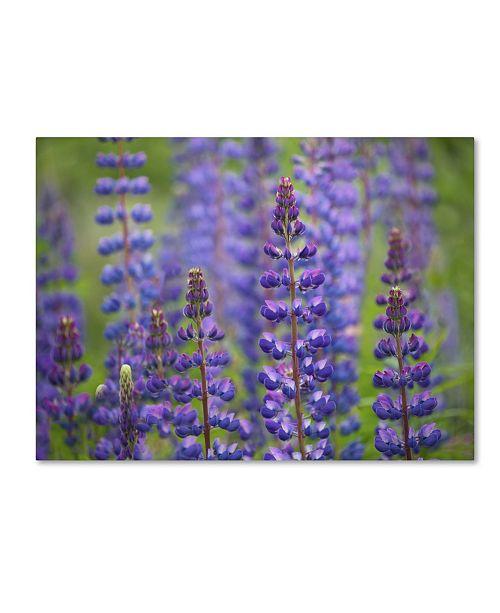 "Trademark Global Cora Niele 'Blue Lupine Flowers' Canvas Art - 19"" x 14"" x 2"""