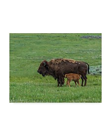 "Galloimages Online 'Baby Bison Nursing' Canvas Art - 32"" x 24"""