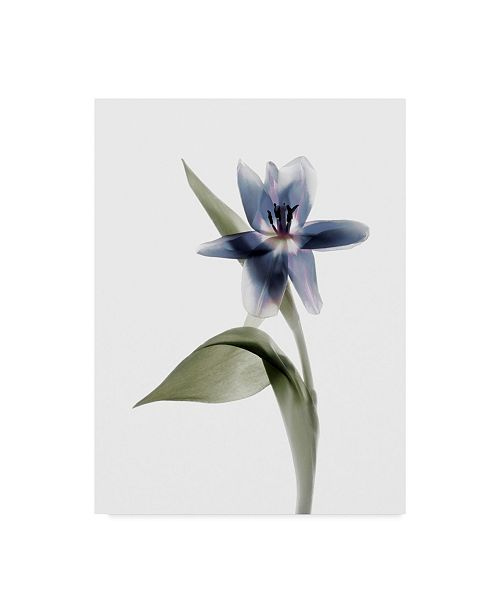 "Trademark Global Judy Stalus Xray Tulip VII Canvas Art - 15"" x 20"""
