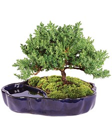 Brussels Bonsai Green Mound Juniper Bonsai in Zen Reflections Pot