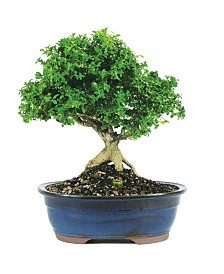 Brussels Bonsai Dwarf Kingsville Boxwood - Large