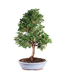 Brussels Bonsai Dwarf Hinoki Cypress