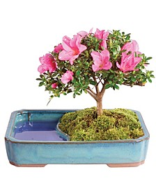 Brussels Bonsai Satsuki Azalea Bonsai in Water Pot