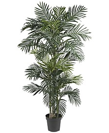 6.5' Golden Cane Palm Tree
