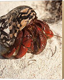 Caribbean hermit crab, Mona Island, Puerto Rico by Maresa Pryor / Danita Delimont Canvas Art