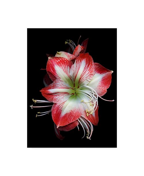 "Trademark Global Susan S. Barmon 'Winter Amaryllis' Canvas Art - 24"" x 32"""