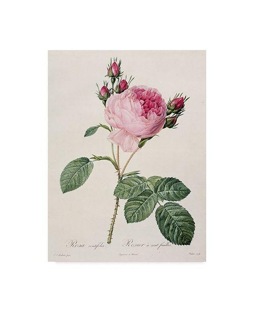"Trademark Global Pierre-Joseph Redoute 'Rosa Centifolia from Les Roses' Canvas Art - 14"" x 19"""