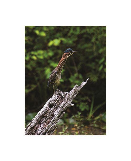"""Trademark Global Kurt Shaffer Photographs The Green Heron Canvas Art - 36.5"""" x 48"""""""