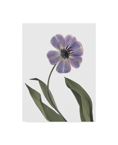"Trademark Global Judy Stalus Xray Tulip X Canvas Art - 37"" x 49"""