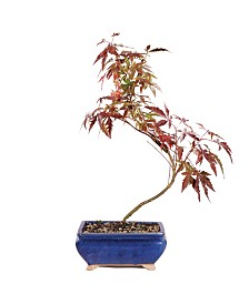 Brussels Bonsai Japanese Red Maple