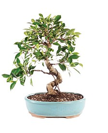 Brussels Bonsai Golden Gate Ficus